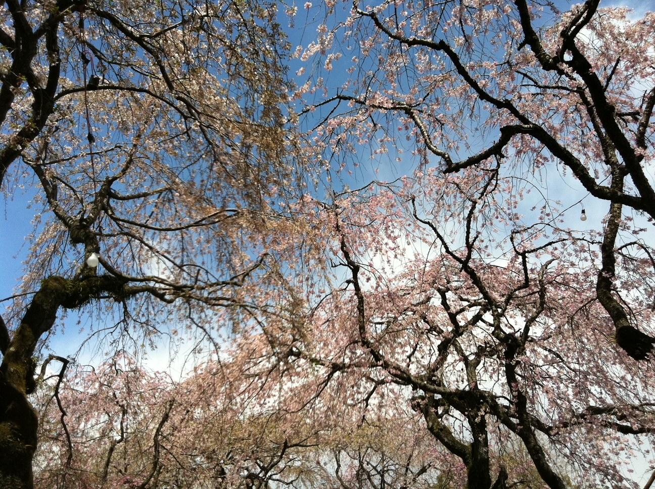 三島大社の枝垂れ桜